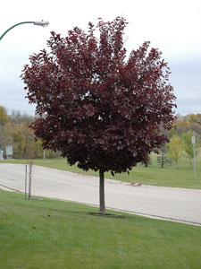Mature Canada Red Select Cherry Tree