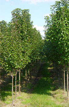 Young Cleveland Select Pear Tree