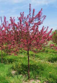 Young Prairiefire Crabapple Tree