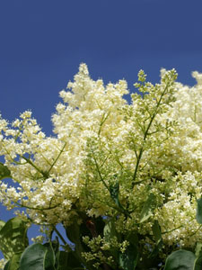 Flowers of Ivory Silk Lilac Tree