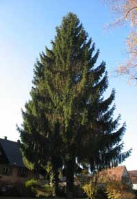 Mature Norway Spruce Tree