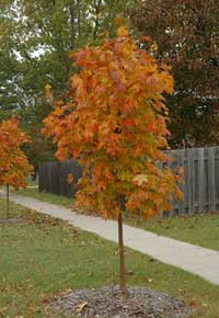 Young Green Mountain Sugar Maple Tree